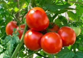 Limex tomatenvirus.